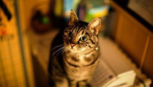 Кальцивироз у кошек: симптомы