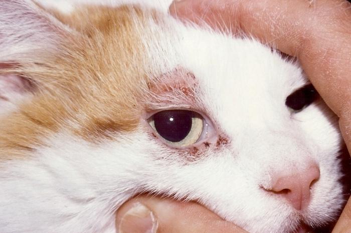 Подкожный клещ у кошек: